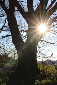Alter Baum mit Sonnenstrahl