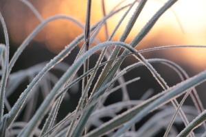 Vereistes Gras in der Morgenröte