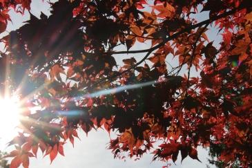 Rote Blätter mit Sonnenstrahlen